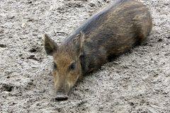Wildschwein Frischling