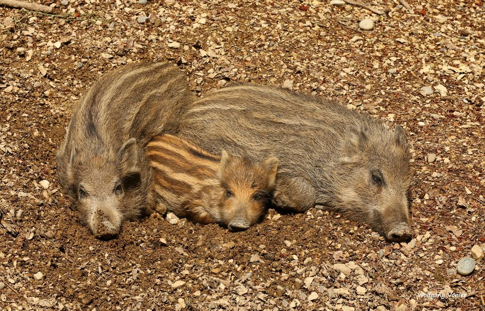 Wildschwein - Frischlinge