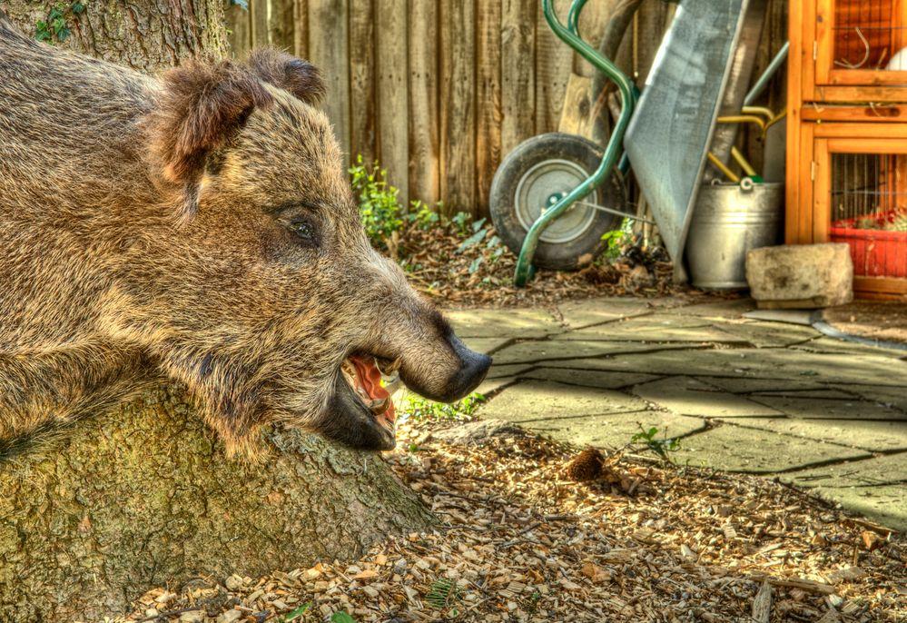 Wildschwein im Garten