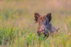 Wildschwein im Gras