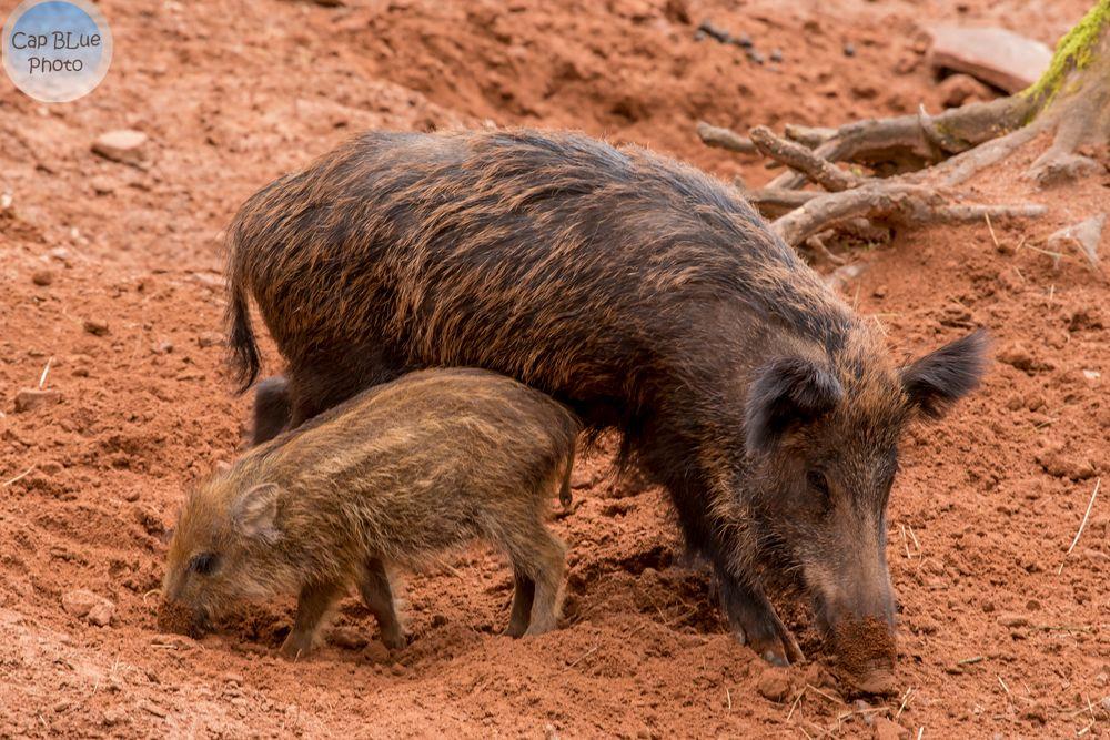 Wildschwein mit Frischling