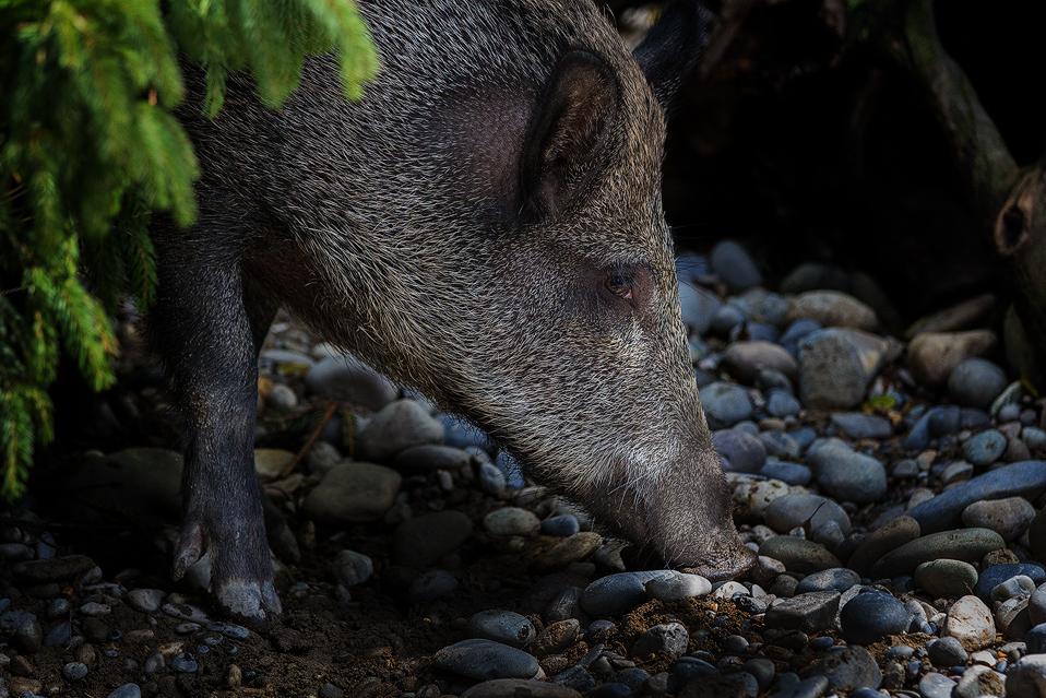 Wildschwein, Wild boar