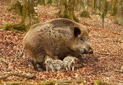 Wildschwein/Bache  mit Frischlingen