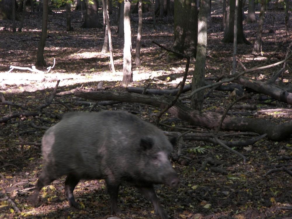 Wildschweine #1