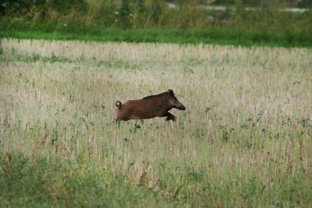 Wildschweine beim Dreschen