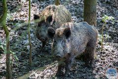 Wildschweine im Wormser Zoo
