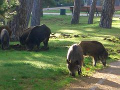 Wildschweine in freier Wildbahn auf der Promenade in Heringsdorf (Ostsee)