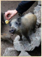 Wildschweinfütterung