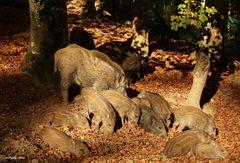 Wildschweingruppe in der Abendsonne