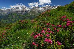 Wildstrubel mit Alpenrosen