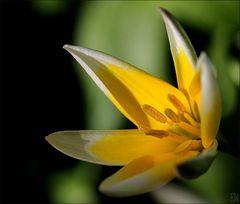 Wildtulpenart 'Tulipa sylvestris'