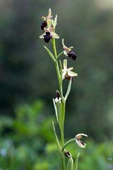 wildwachsende Orchideen 3