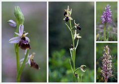wildwachsende Orchideen