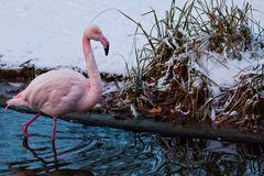 Wilhelma - Flamingo