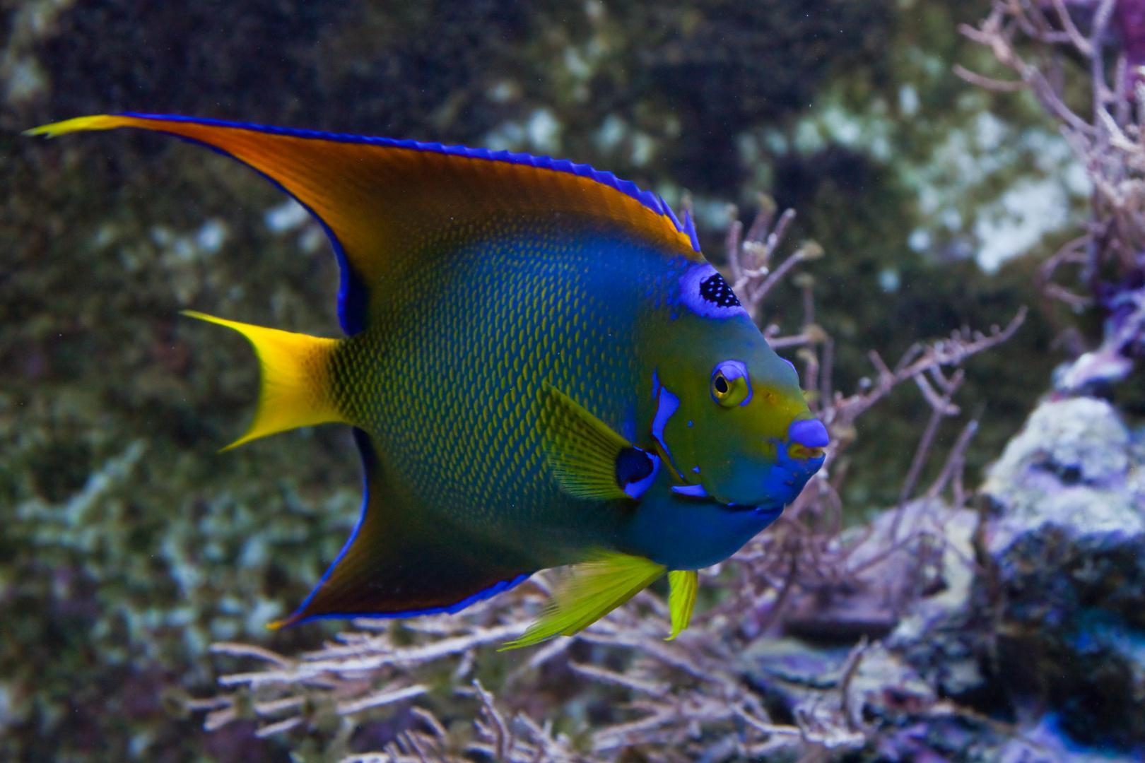 Wilhelma - gekrönter Engelfisch