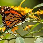 Wilhelma - Monarch