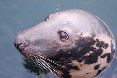 Willi , der Seehund der ein Kegelrobbenweibchen ist