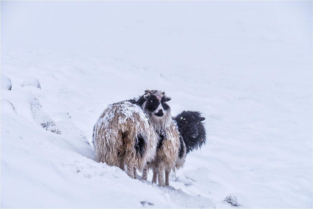 Willkommen auf den Schafsinseln