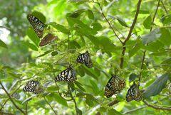 Wilpattu Schmetterlinge