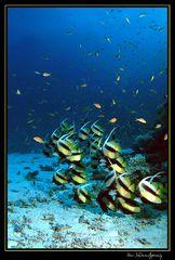 Wimpelfische