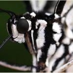 Wimpern einer weißen Baumnymphe