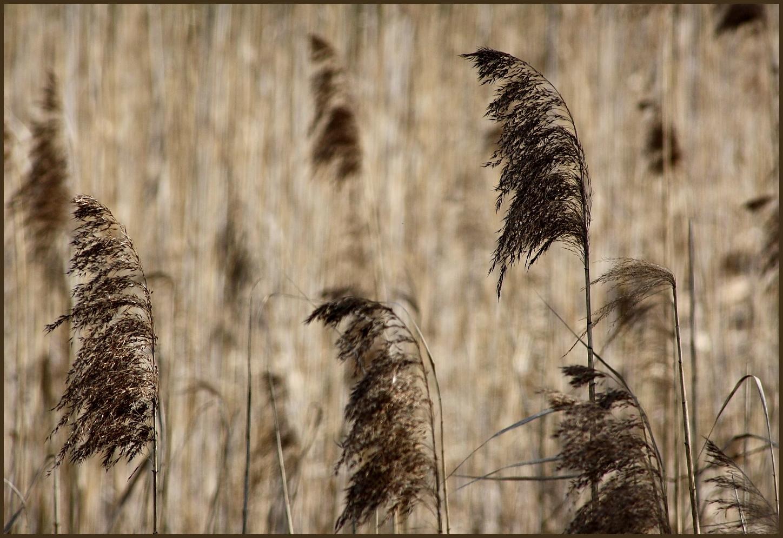 Wind im Schilfgras