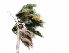 Wind in den Palmen