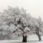 Windbuchen im Nebel 2019