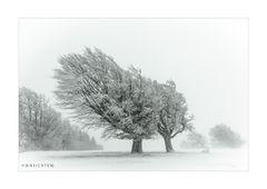 Windbuchen im Schnee 003