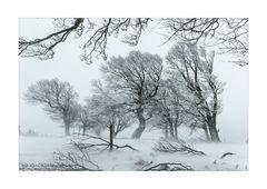 Windbuchen im Schnee 004 gerahmt