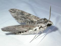 Windenschwärmer 2 [Agrius convolvuli] brav liegend beim Fotoshooting