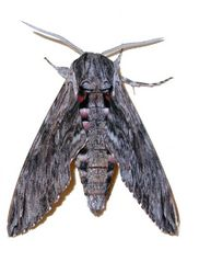 Windenschwärmer [Agrius convolvuli]
