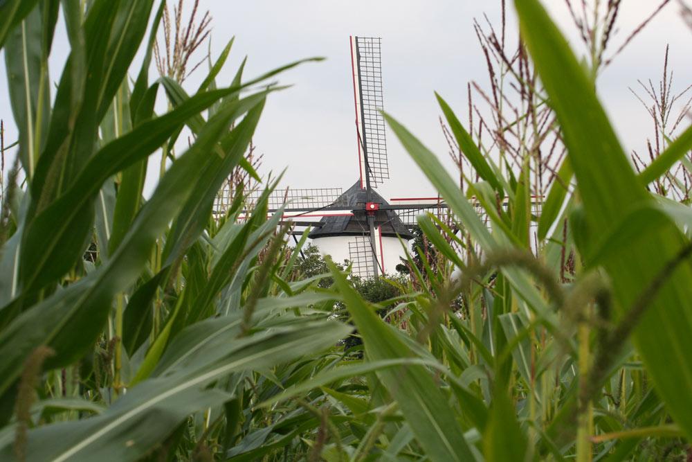 Windmühle im Mais