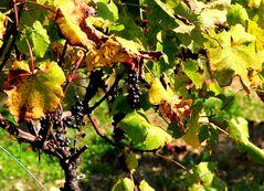 wine grapes.....