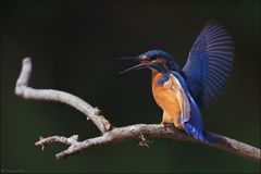 [ wings of kingfishers ~3 ]