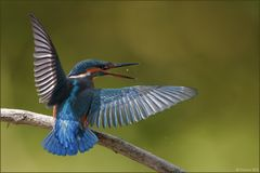 [ wings of kingfishers ~6 ]