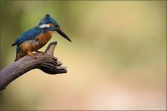 [ wings of kingfishers ~8 ]