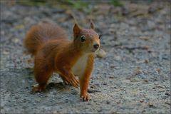 Hörnchen - Wald