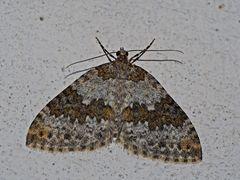 Winkelzahn-Gebirgs-Blattspanner (Entephria infidaria) - Un habitant de la montagne...