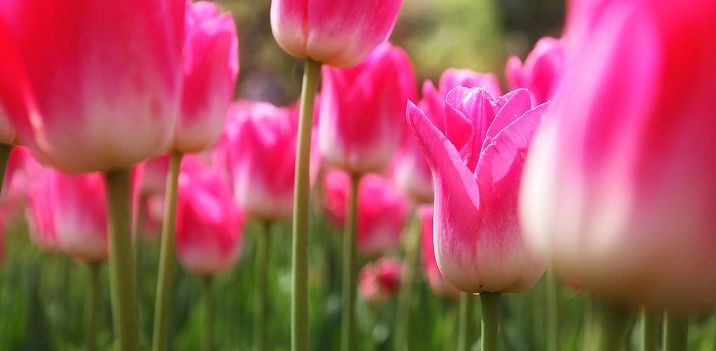 Winsener Tulpen