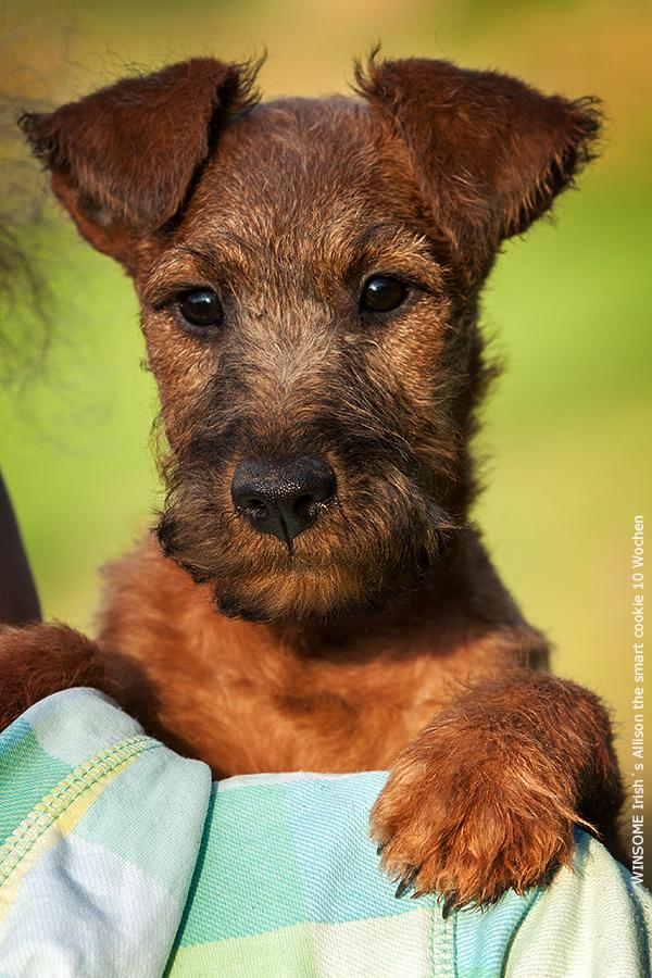WINSOME Irish´s Allison the smart Cookie, genannt Cookie - Irish Terrier