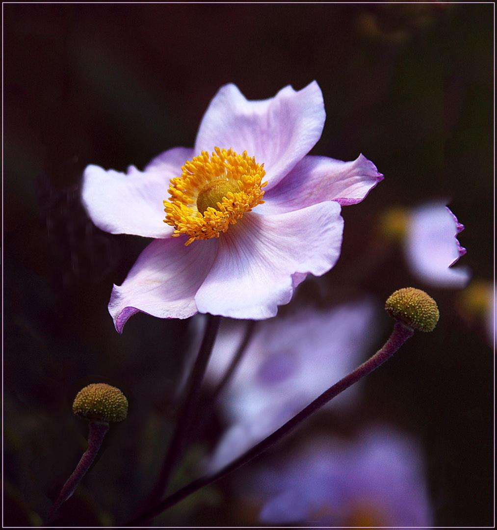 Winter Anemone