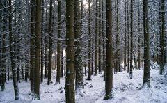 Winter-Fichtenwald