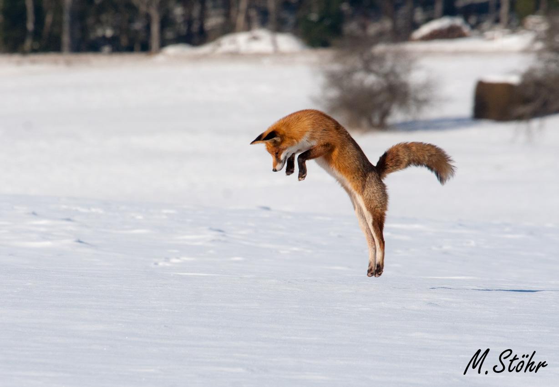 Winter Fuchs Beim Mauselsprung Foto Bild Tiere Wildlife