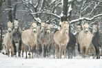 Winter in Lipica 3 - Slovenia