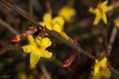 Winter-Jasmin (Jasminum nudiflorum)