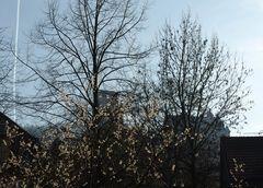 Winter-Kirschblüte 1