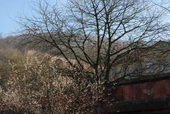 Winter-Kirschblüte 2