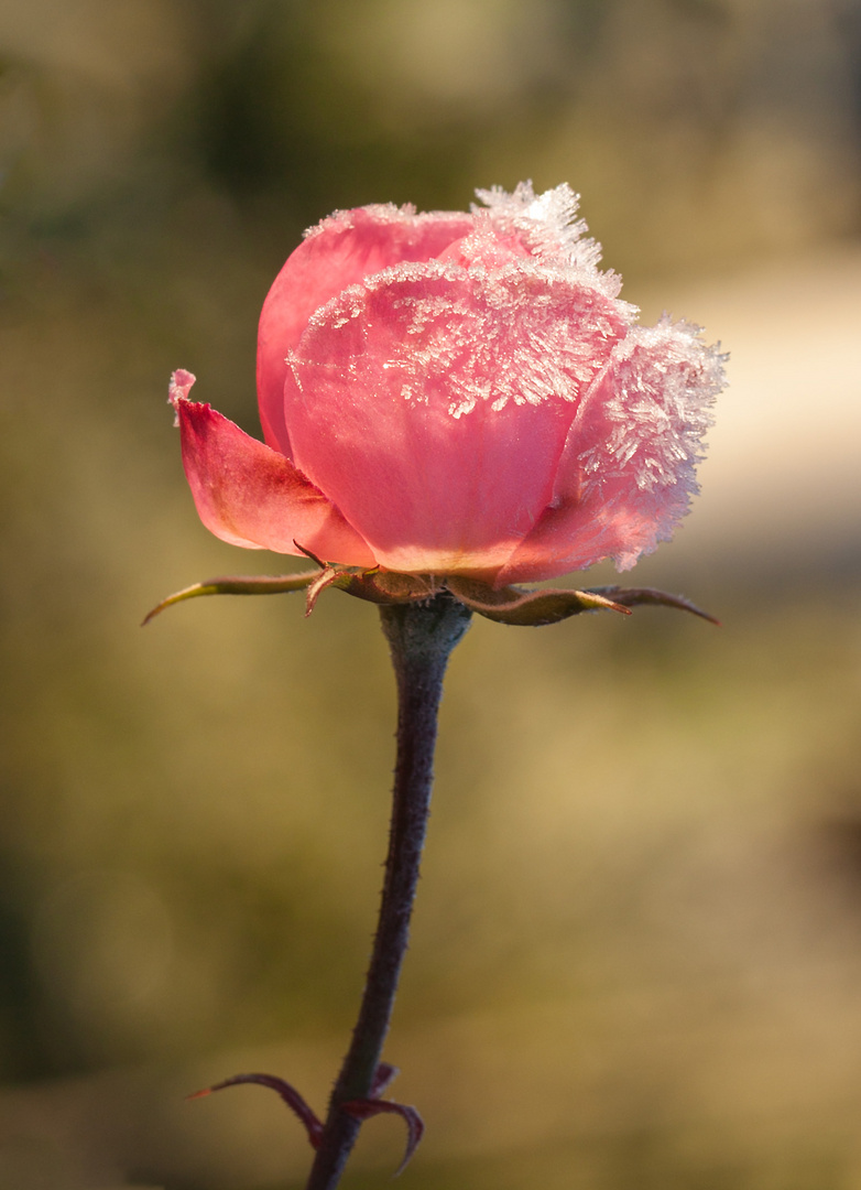 Winter - Rose