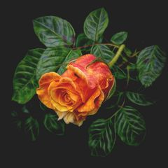 Winter-Rose ...